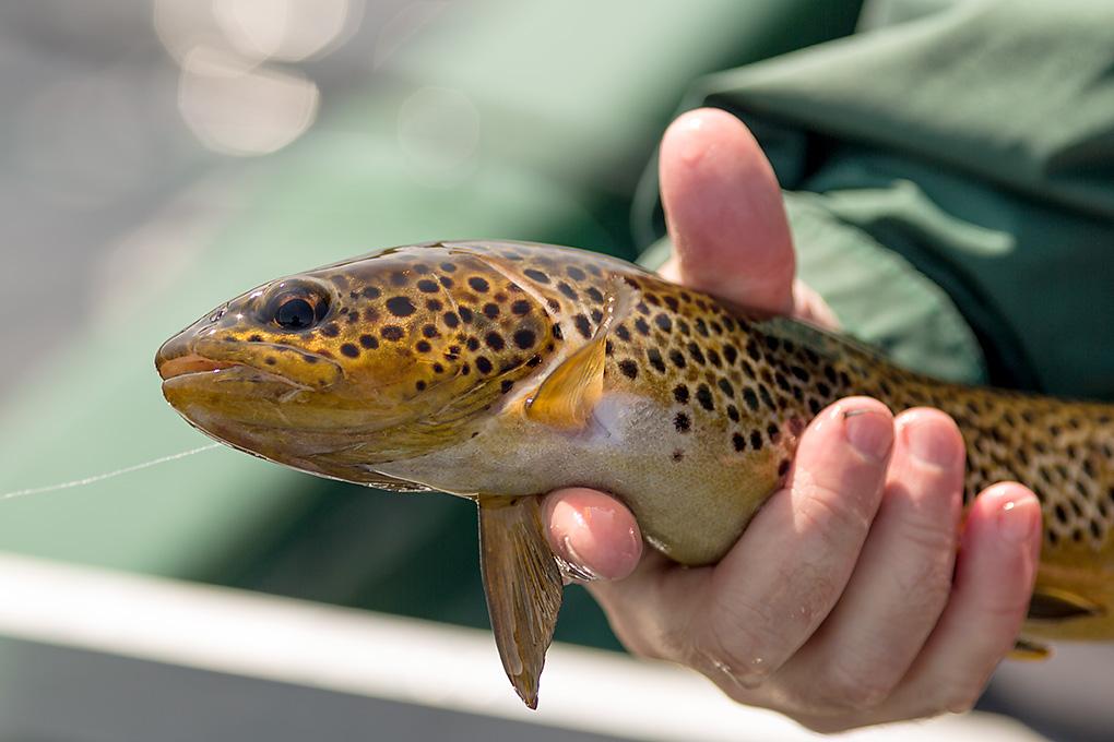 IMAGE: http://www.capnfishy.co.uk/images/CraggieShinEye13/CragShinEye13_4134.jpg