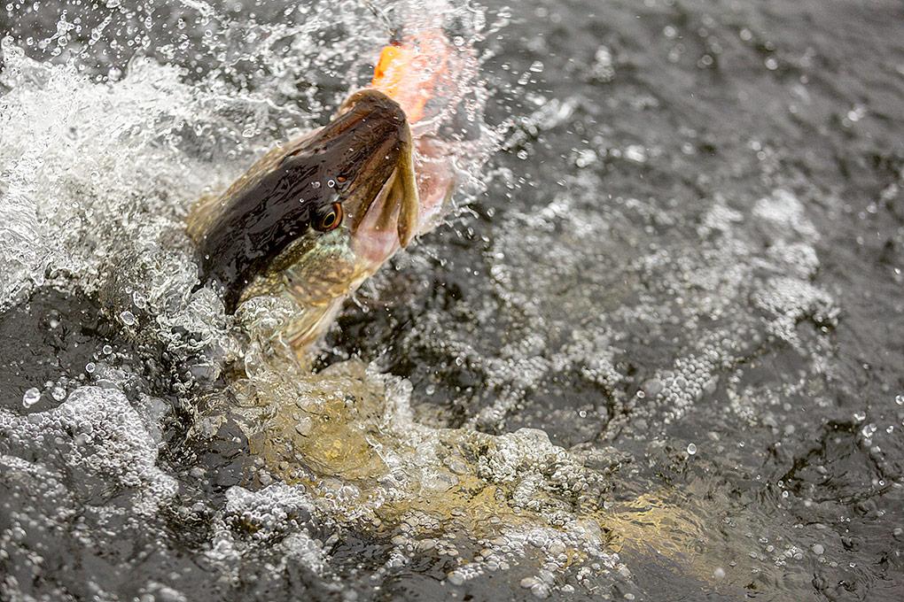 IMAGE: http://www.capnfishy.co.uk/images/Pike28Nov14/28Nov14_0372.jpg