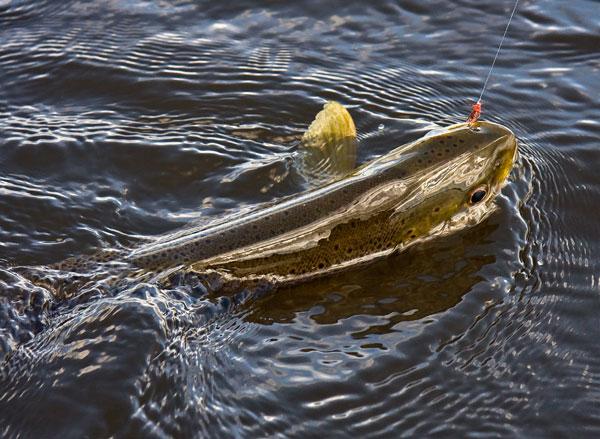 Watten-Fish.jpg