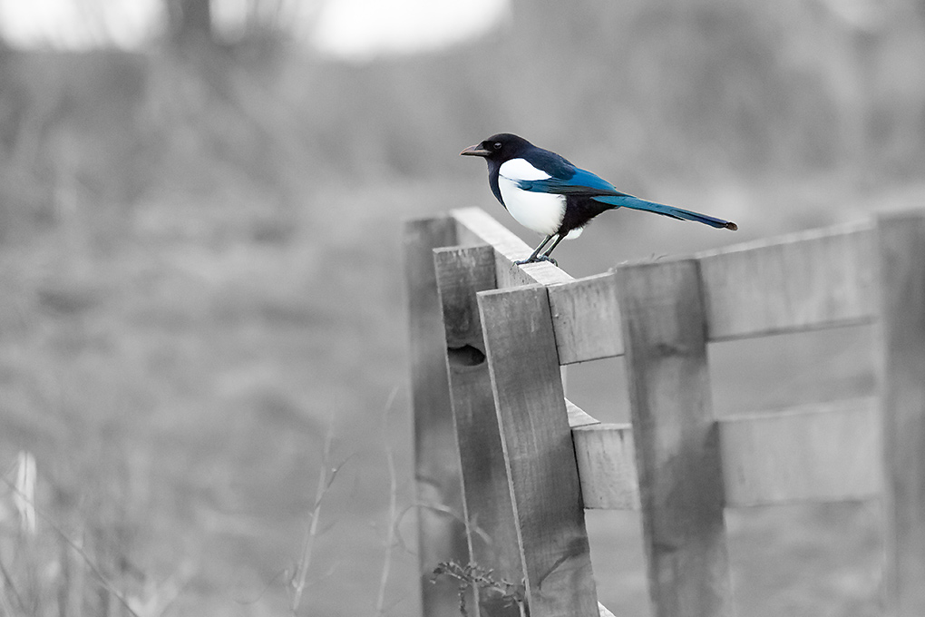 IMAGE: http://www.capnfishy.co.uk/images/birds/Levenmouth02Feb14_0977.jpg