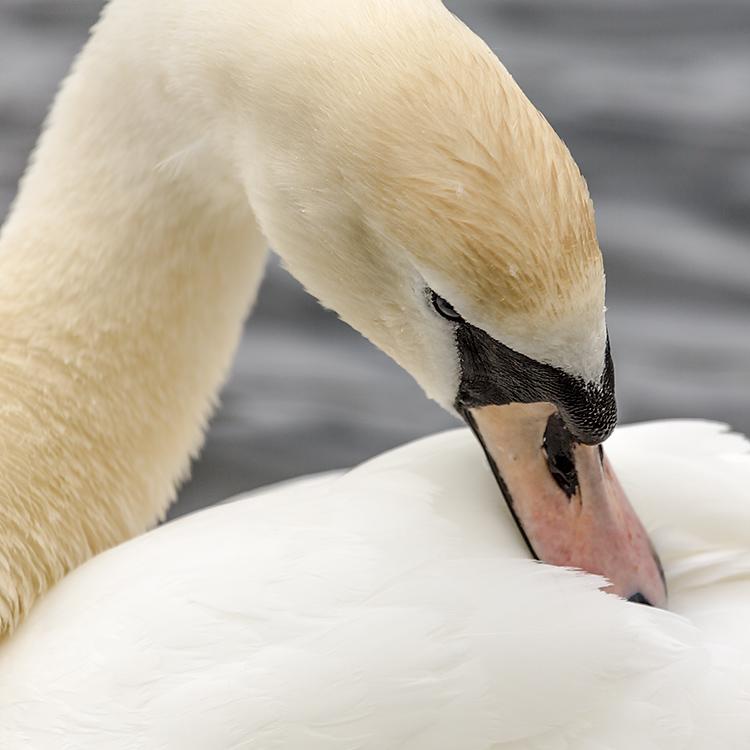 IMAGE: http://www.capnfishy.co.uk/images/grebe/Grebe13Apr13_9733.jpg