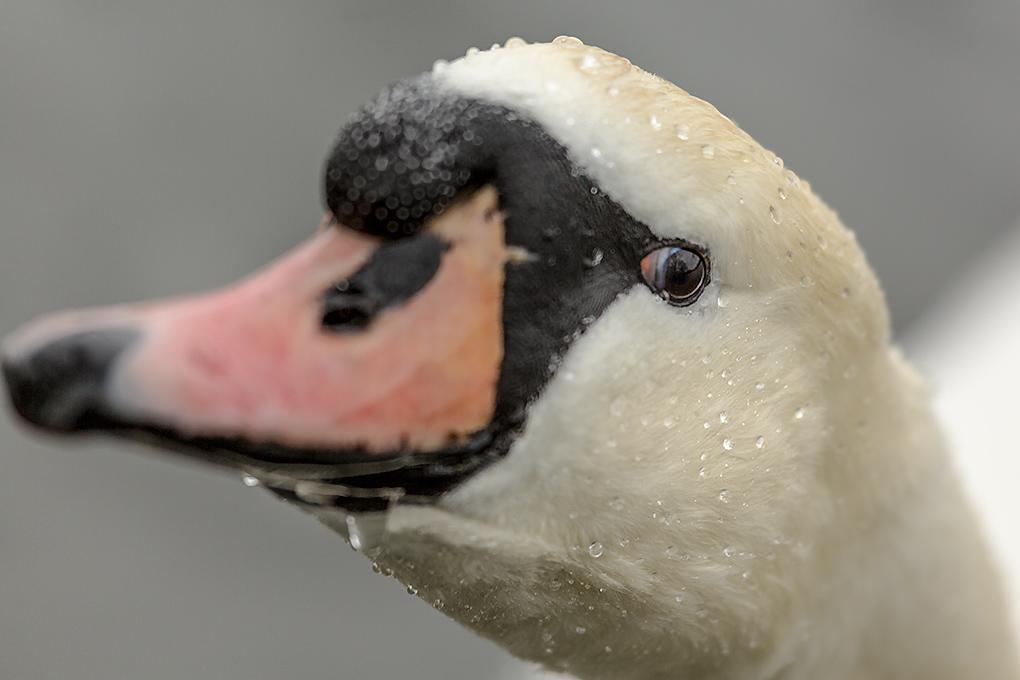 IMAGE: http://www.capnfishy.co.uk/images/grebe/Grebe13Apr13_9739.jpg
