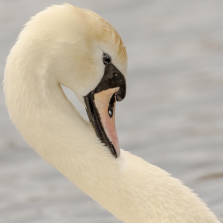 IMAGE: http://www.capnfishy.co.uk/images/grebe/Grebe13Apr13_9743.jpg