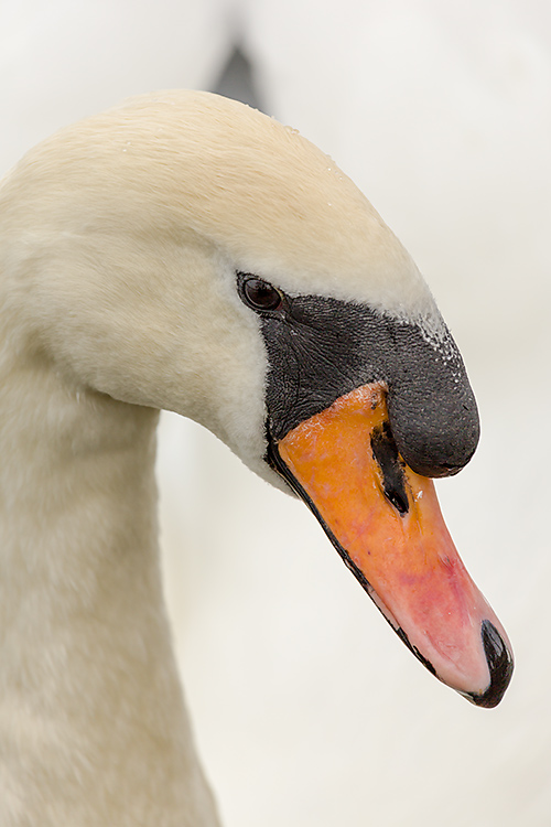 IMAGE: http://www.capnfishy.co.uk/images/grebe/Grebe13Apr13_9747.jpg