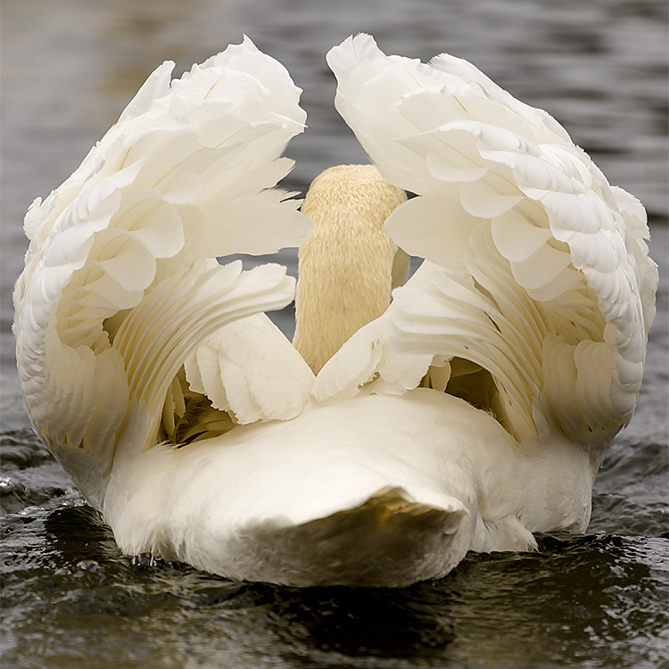 IMAGE: http://www.capnfishy.co.uk/images/grebe/Grebe13Apr13_9756.jpg