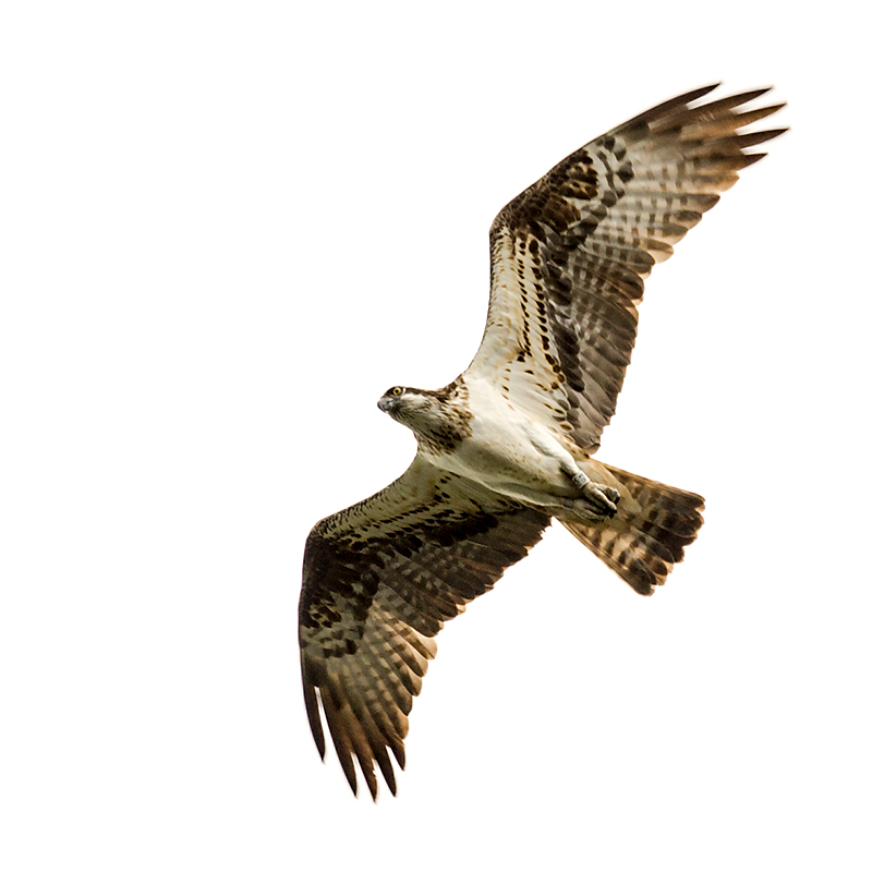 IMAGE: http://www.capnfishy.co.uk/wp-content/uploads/2015/01/Ospreys26Jul14_0746.jpg