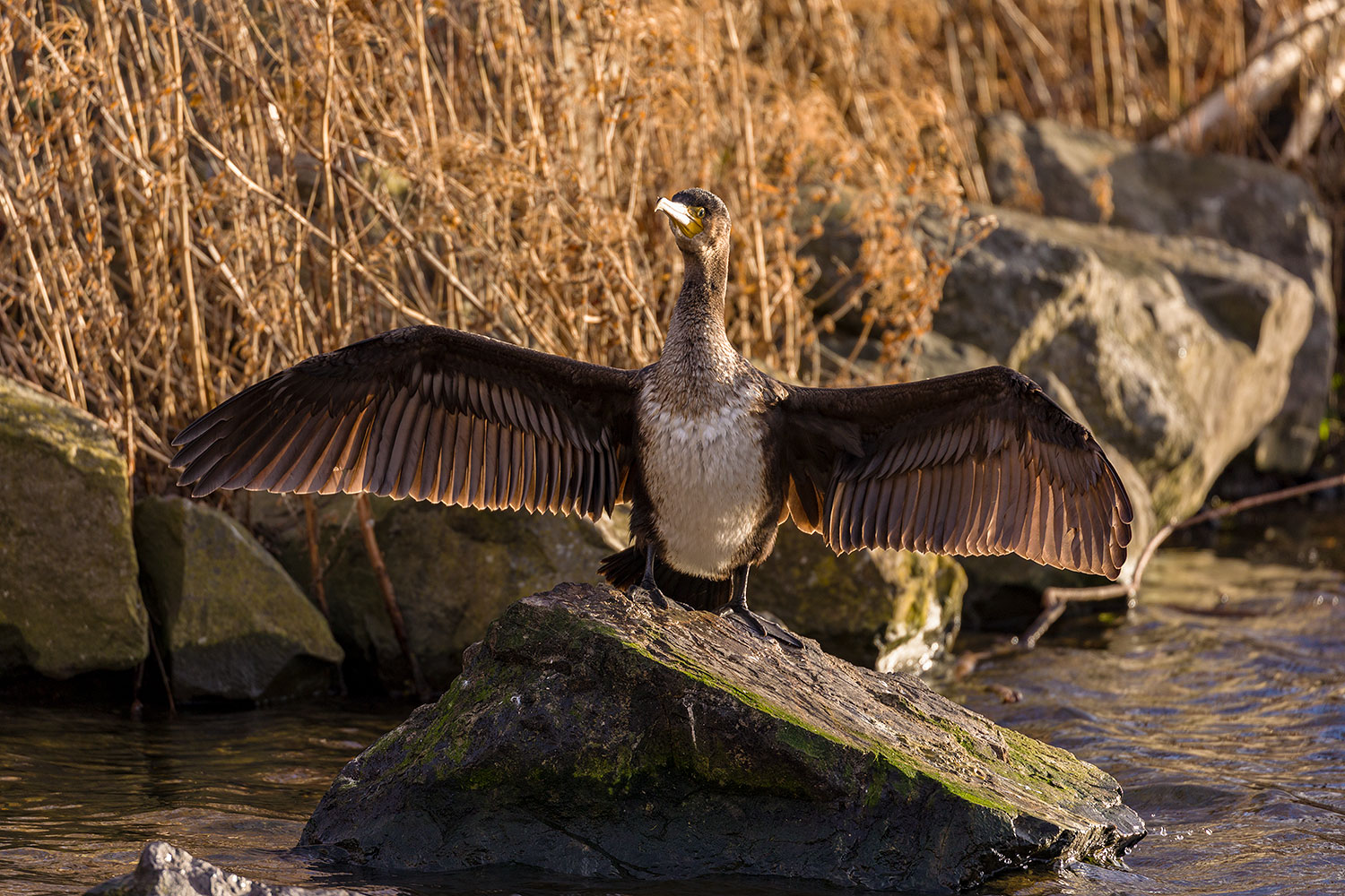 IMAGE: http://www.capnfishy.co.uk/wp-content/uploads/2015/02/Cormorants15Jan19_1091.jpg