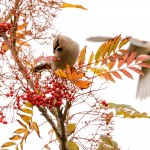 waxwings10nov16_3247