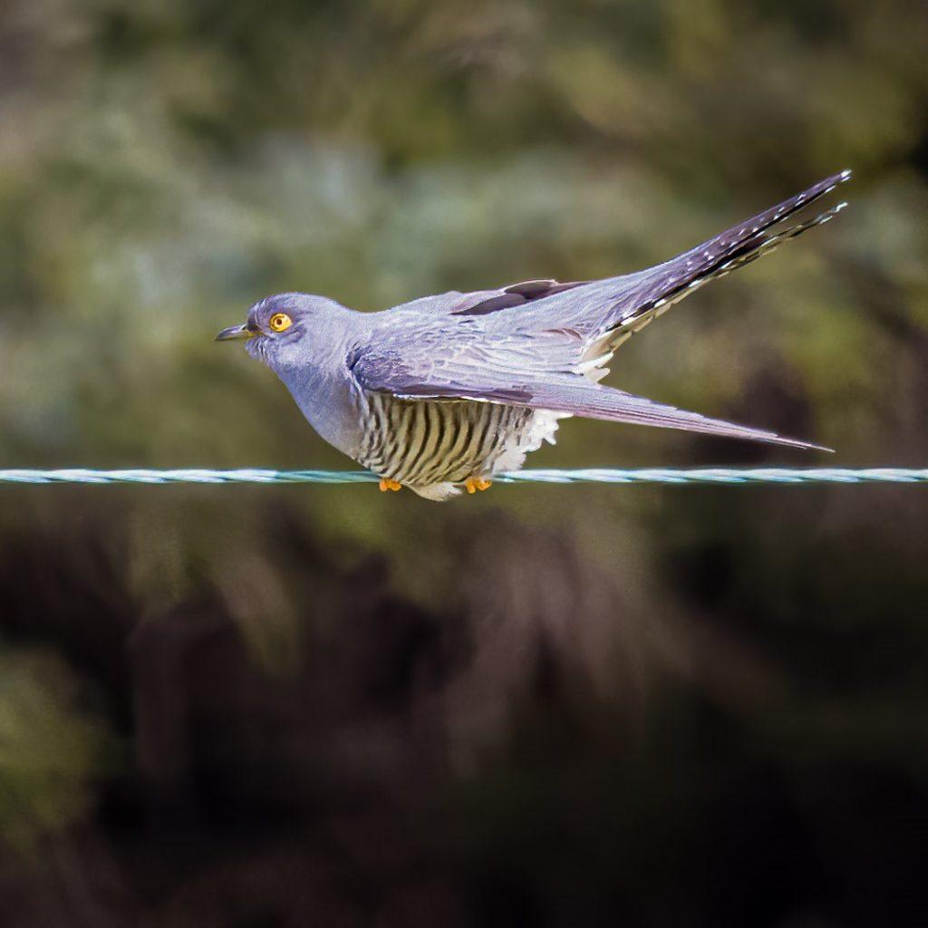 Cuckoo-1-1024x1024.jpg
